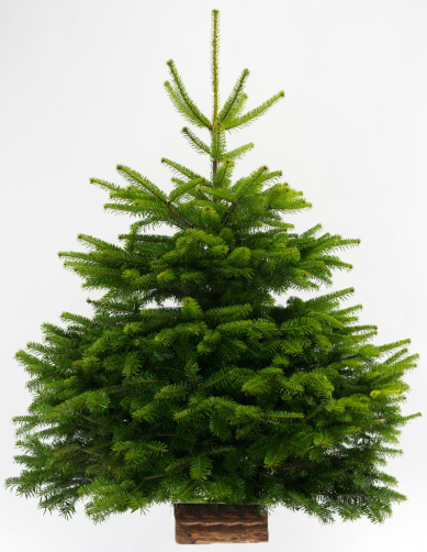 Sapins de Noël | Pépinière Alexandre Castella & Fils